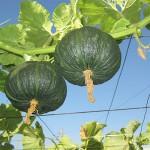 青空レストラン 天空かぼちゃ 自然甘味ペースト かぼちゃのジャム 甘麹 通販 お取り寄せ ニョッキ レシピ
