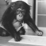 アンビリバボー チンパンジー 育児放棄されたチェリーと亀井一成さんの人工哺育の絆 自宅で過ごした4年間・神戸王子動物園 8月25日